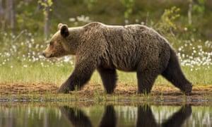 European brown bear, in Taiga forest, Finland