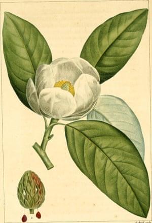 Magnolia grandiflora, the smell of Louisiana.