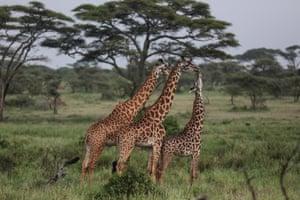 In this photo taken Saturday, Jan. 17, 2015, Maasai giraffes walk in Serengeti National Park, west of Arusha, northern Tanzania.