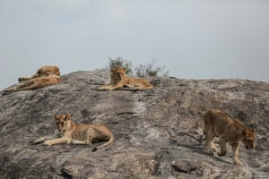 In this photo taken Saturday, Jan. 17, 2015, lion cubs rest in Serengeti National Park, west of Arusha, northern Tanzania. The park is the oldest and most popular national park in Tanzania and is known for its annual migration of millions of wildebeests, zebras and gazelles.
