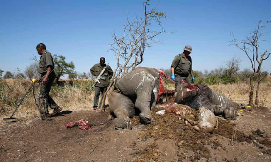 A ranger looks on after performing a post mortem on the carcass of a rhino killed for its horn by poachers in South Africa's Kruger National Park in this August 27, 2014 file photo. From South Sudan, where conservationists say elephants are being slain by both government forces and rebels, to South Africa, where more than three rhinos are poached every day, there is an arc of illegal animal slaughter across the region.