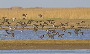 A flock of common teal fly over the Cley Marshes nature reserve.