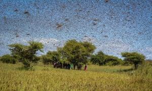 Local take refuge under a tree as Malagasy Migratory Locust swarm, Madagascar, 6 April 2014