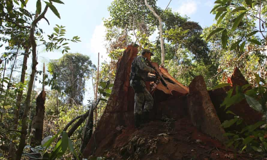 A police officer inspects a tree illegally felled in the Amazon rainforest in Jamanxim National Park near the city of Novo Progresso, Para State.