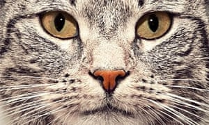 Tabby cat face close up portrait. Looking straight at the camera