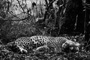 sleeping leopard