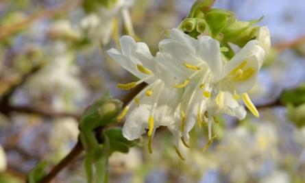 Winter honeysuckle (Lonicera x purpusii).