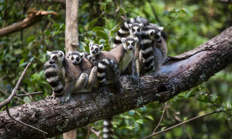 31 Mar 2013, Isalo National Park, Madagascar --- Madagascar, Isalo National Park, Ring-Tailed Lemur (Lemur catta) gathered on branch in forest in Ihorombe Region