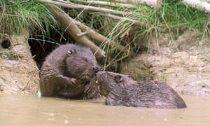 Undated Kent Wildlife handout photo of beavers in Kent as the beavers which vanished from the UK's shores hundreds of years ago, could be making a comeback across Britain,  January 2, 2015.