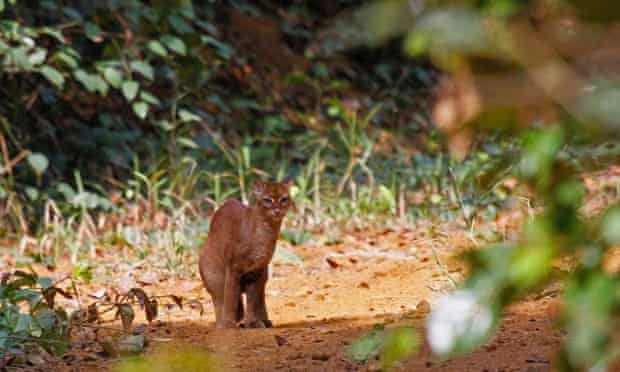 An African golden cat photographed by Laila Bahaa-el-din