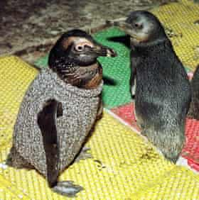 An oil-soaked penguin wears a sweater whilst housed in a ware-house in Salt River, in Cape Town.