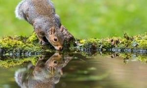 Grey Squirrel (Sciurus carolinensis) sat at edge of a mossy pond drinking with mirror reflection
