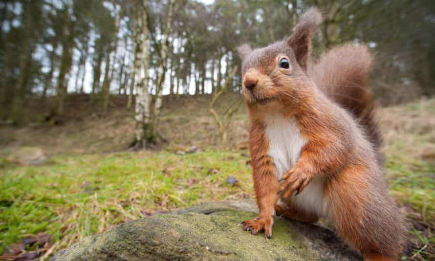 Close-up of a squirrel peering curiously at a cameraThe last stronghold of the English Red Squirrel, Hexham, Northumberland - 2
