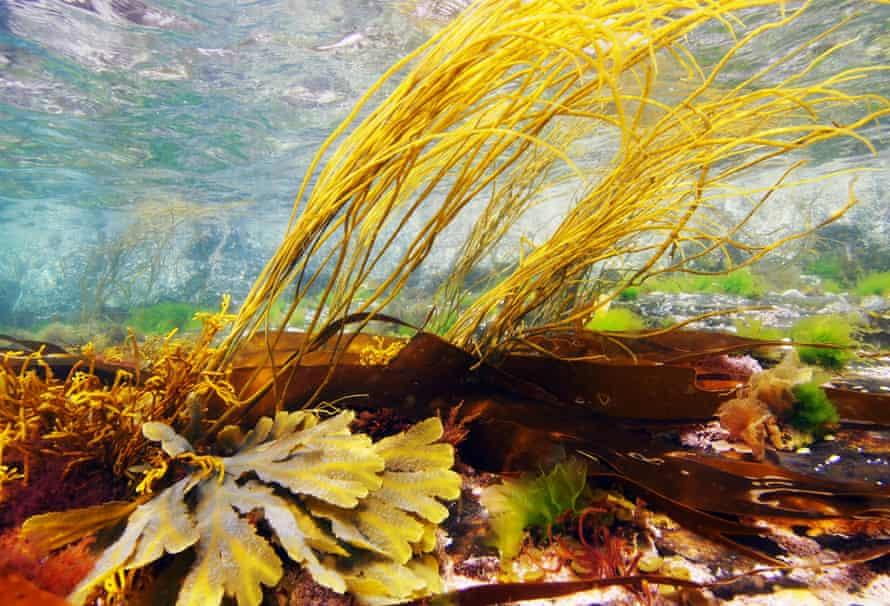 Seaweed underwater at Sennen in Cornwall, 13th July 2013