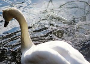a swan breaking through the lake ice