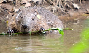 A beaver swimming in a river