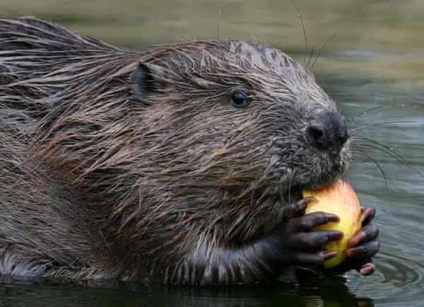 A beaver eating an apple