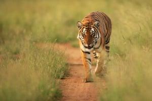Bengal tiger, Kaziranga National Park. Photo: Paul Hilton