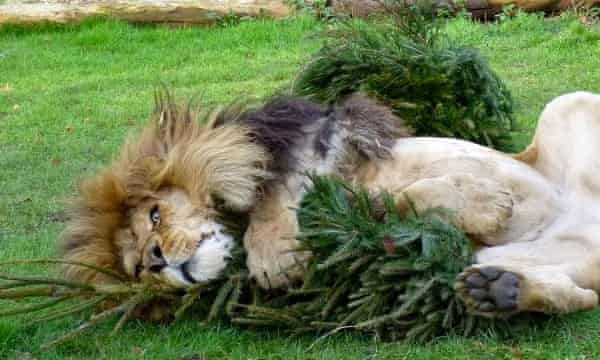 A lion at Linton Zoo