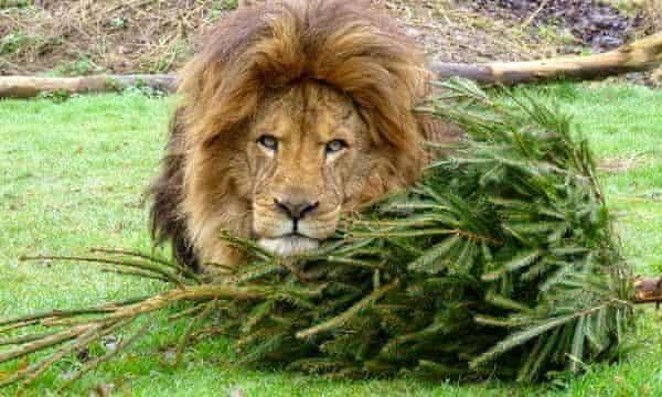 Ready to pounce: a lion at Linton Zoo.