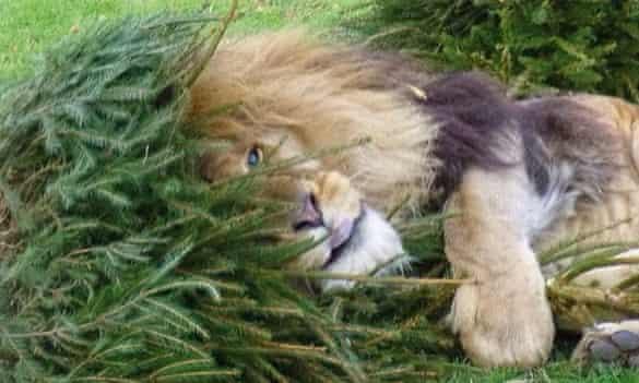 Lion at Linton Zoo