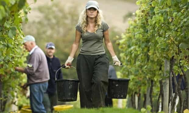 Grape harvest Kent vineyard