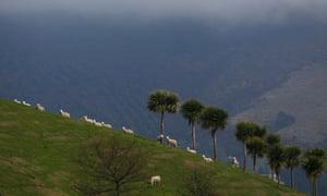 Sheep graze on a hill in Purakaunui, near Dunedin.