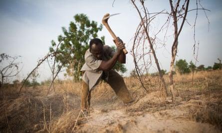 A man harvests yams on his farm in Nandom, Ghana