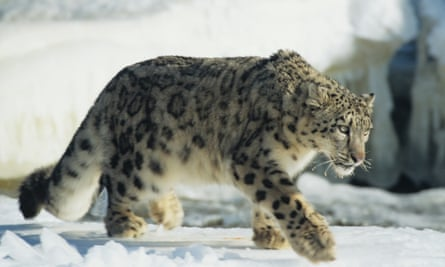 CyberTracker projects have been initiated to track snow leopards in the Himalayas.