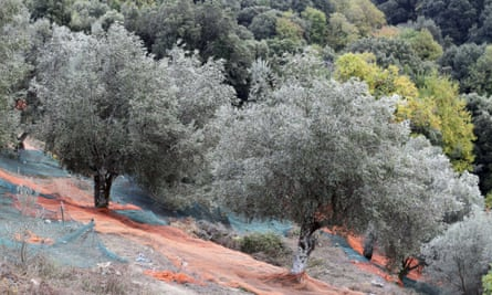 A picture taken on November 4, 2014, shows olive trees in Sainte-Lucie-de-Tallano in the French Mediterranean island of Corsica. Corsica is on alert to protect olive trees against a killer bacteria coming from Italy, the Xylella fastidiosa, which has already wreaked havoc in the Italian region Apulia (Puglia) and threatens the entire Mediterranean orchard.