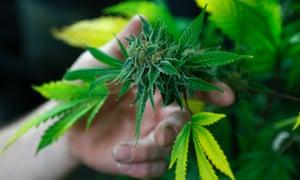 A fully budded marijuana plant at Colorado store.