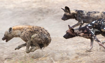 hyenas running savannah