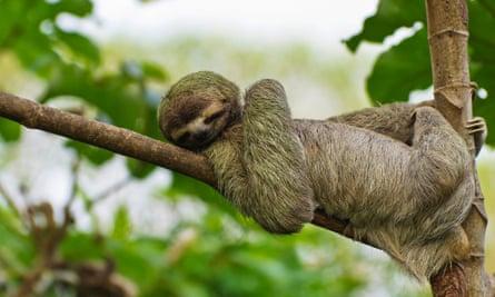 A sloth takes it easy.