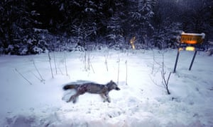 A female wolf lays on the snow after being shot down by hunters during a previous wolf hunt in Sweden.
