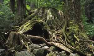 The famous felled cedar of Wilson's Stump, Yakushima, Kagoshima Prefecture, Japan