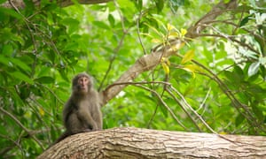 A Yakushima Macaque sits on a branch in the forest. Yakushima, Japan