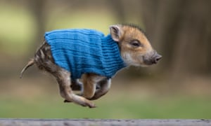 """An orphaned piglet in a jumper. Just the kind of picture that needs an """"aww"""" button."""