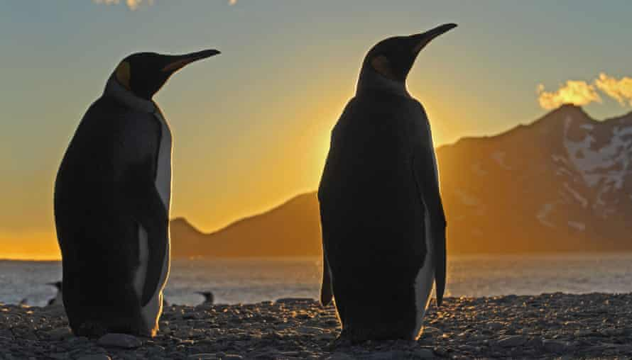 King penguin in an episode of Frozen Planet