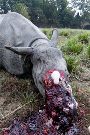 The dead body of a Indian rhinoceros, which was killed by poachers this year in Assam, India. Several rhino species are on the edge of extinction due to demand for their horns.