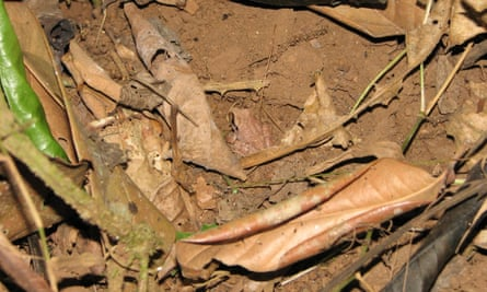 camouflage frog