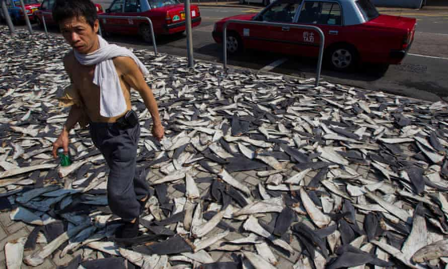 Thousands of shark fins line a street, obstructing traffic in Hong Kong, China. Sharks have long been one of the top predators in the oceans, but they have been usurped by humans. Today, they are among the most threatened of marine species worldwide due to overfishing largely for their fins.