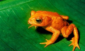 Some scientists argue that amphibians are already experiencing a mass extinction. The golden toad has not been seen since 1989 and is believed extinct, possibly due to a combination of habitat loss and the chytrid fungus which has wiped out amphibians around the world. It's believed the chytrid fungus was delivered via international travelers.
