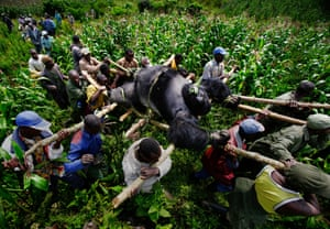 Conservation rangers and locals carry the body of a mountain gorilla killed in Virunga national park, DRC, in 2007.