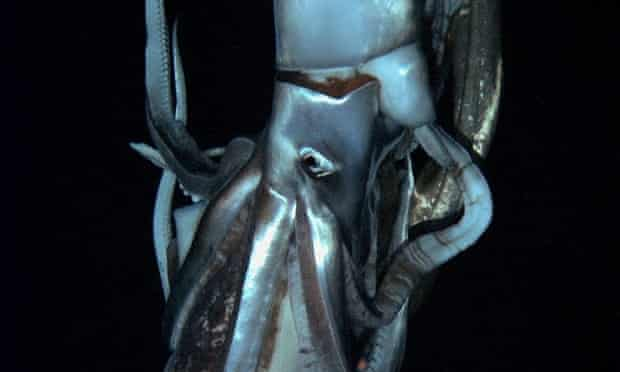 A rare sighting of a giant squid, near the Ogasawara islands in Japan.