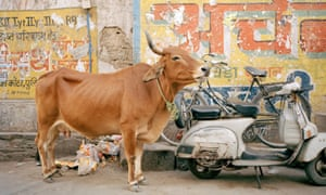 Cows are considered sacred by India's Hindus, who make up about 80% of the population.