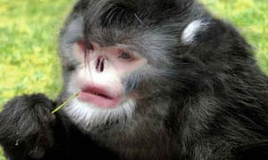 Not as cute as it sounds … the sneezing monkey.