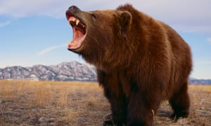 Now just insert arm … grizzly bear roaring