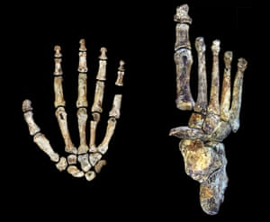 Hand and foot of Homo naledi