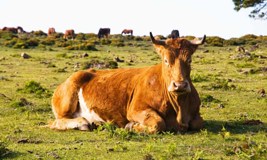 Brown cow lying in a field and looking at camera