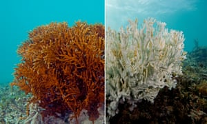 A fire coral in Bermuda. The one on the left is a healthy while the one on the right is completely bleached.